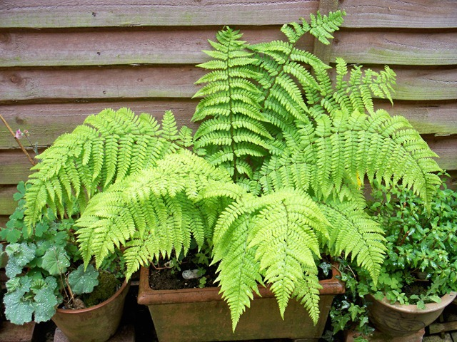 lady fern in pot from tnnursery.net