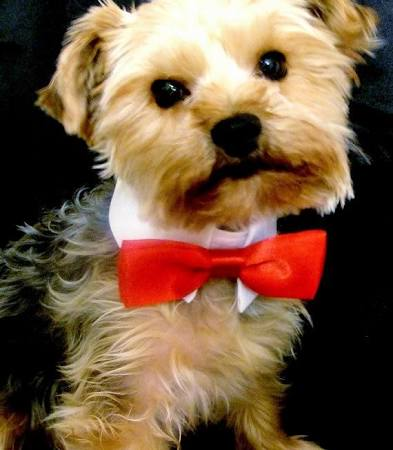 etsy chiccaninecoutour dog red satin bow tie